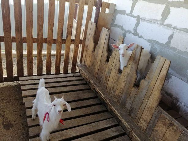 7 месячные зааненские козлята