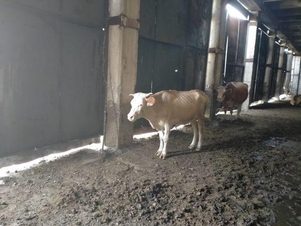 Корова дойная с теленком