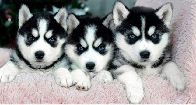 Голубоглазые щенки сибирских хаски