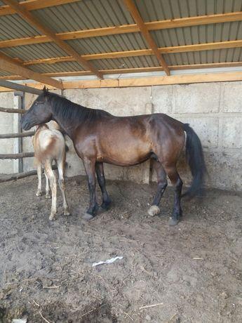 Продам КАБЫЛУ 7 лет с жеребёнком 3 месяца (девочка)