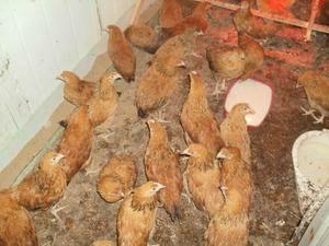 Куры несушки петухи цыплята несушки Кучинской породы 4 месячные