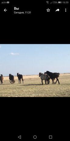 Продам лошадей 250 000 тнг