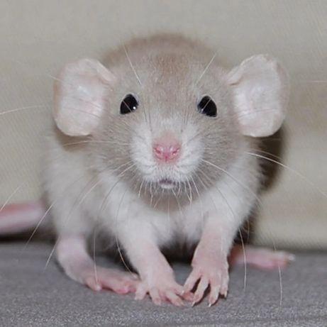Дамбо крыски, разных возрорстов