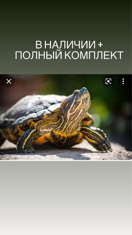 Продам красноухая черепаха