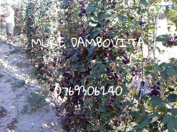 Plantație Mur Dambovita - Vânzare Butași