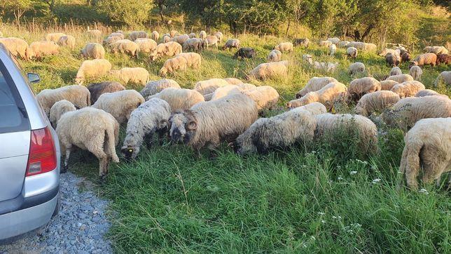 Vând turmă de oi