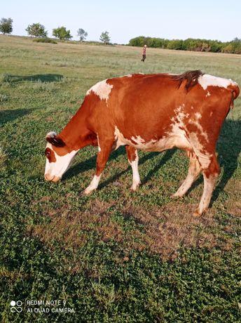 ПРОДАМ корову с теленком!