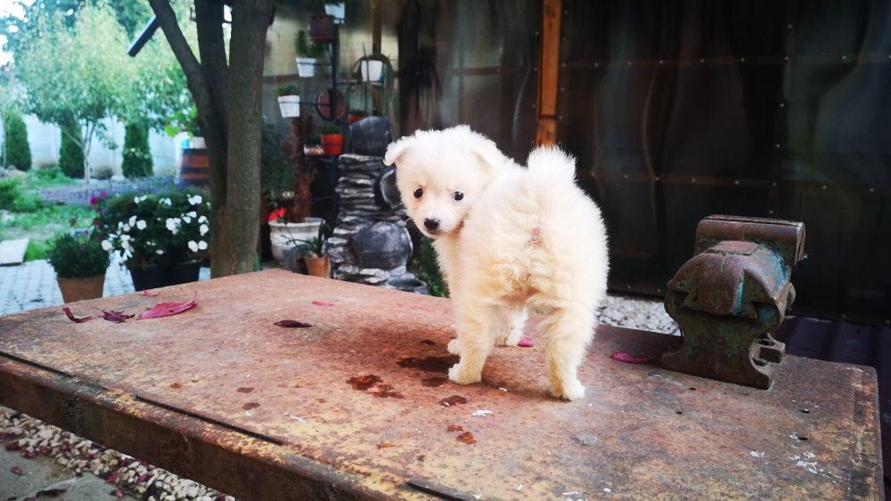 Pui Spitz Pitic (Pomeranian) Bucuresti - imagine 1