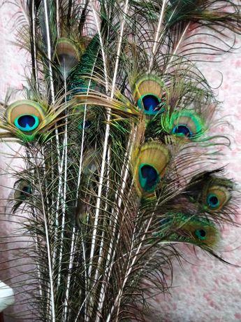 Продам перья павлина