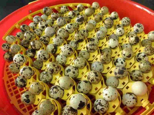 Люлка за яйца от пъдпъдък 102 гнезда!!! Ползва се на инкубатори!