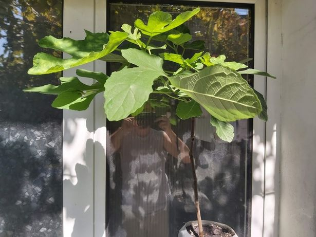 Smochin cu fruct Verde 70 cm