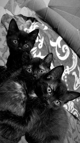 Donez puituti de pisica