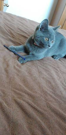 Vand Pisica british femela 4 luni