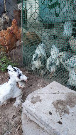 Цыплята  брамы, 3 месячные