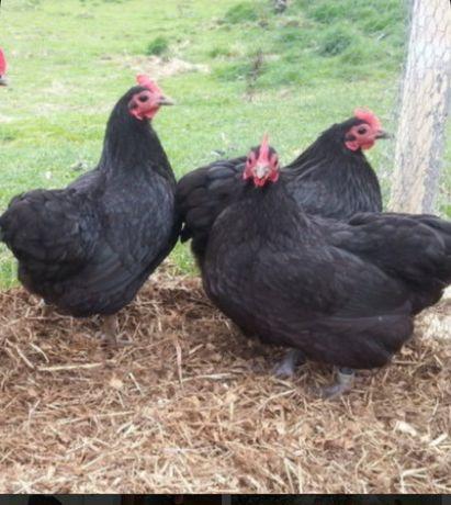Продам черных кур.