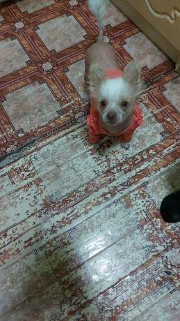 Продам собаку  порода лысая китайская