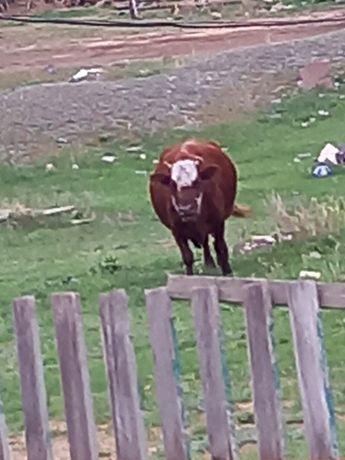 Хорошая корова дойная.