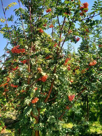 Распродажа лиственные деревья рябина каштан сирень ясень катальпа и тд