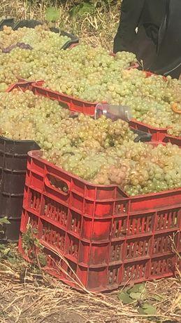 Vand struguri de vin FETEASCA RISLING MERLOT NEGRU muscat otonel