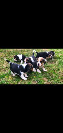 Catei Beagle 5 saptamani