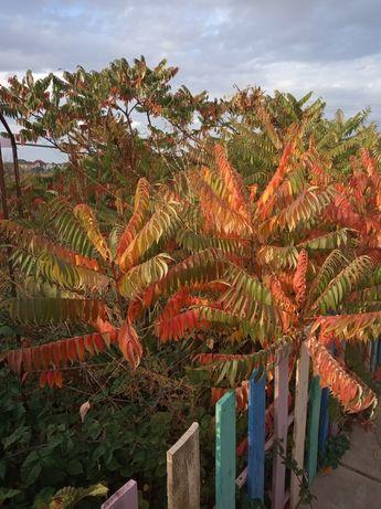 Продам саженцы дерева Сумах