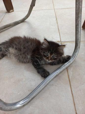 Отдам котенка в добрые руки (мальчик)