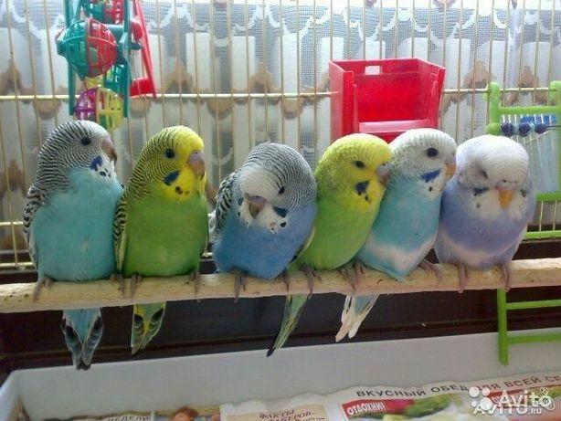 Молоденькие волнистые попугайчики