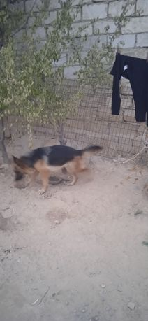 Продам щенка немецкой овчарки 6 месяцев
