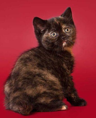 Котенок британский 3 месяца