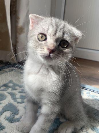 Шотландская вислоухая кошка, мальчик