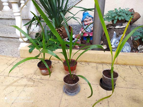 Финикови палми цветя