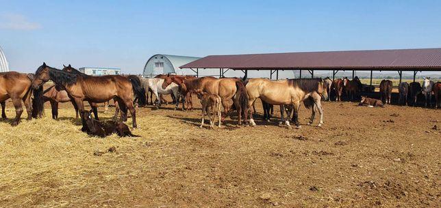 Сельхоз. животные Лошади