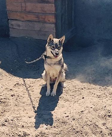 Продаётся собака ЛАЙКА девочка
