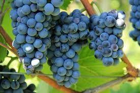 Vând struguri pentru vin sau de mâncat