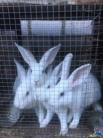 Продаются кролики 4,5 месячные по 2500тг
