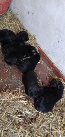Продам щенков восточно европейской овчарки, чистокровные