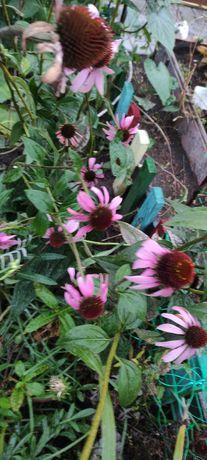 Эхиноцея. Лекарственный цветок.
