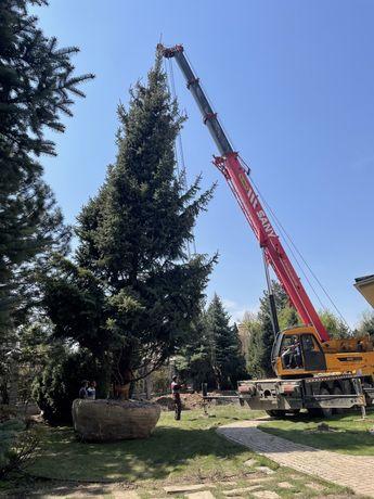 Продам большие деревья