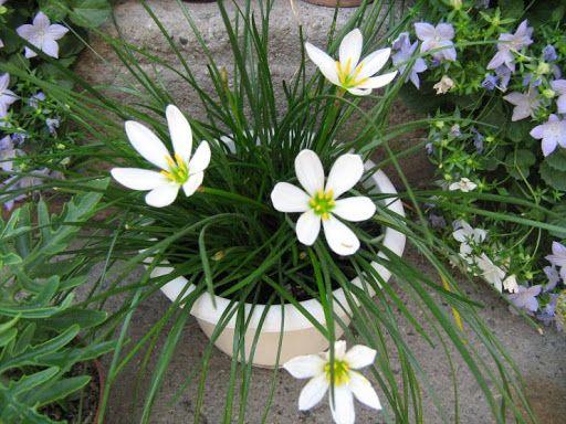 луковички на бял есен минзухар / за саксия/