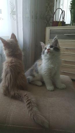 Продам котят  породы Мейн - Кун