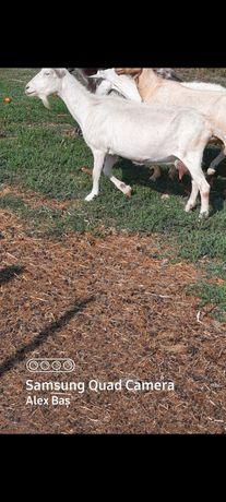 Schimb capre cu oi