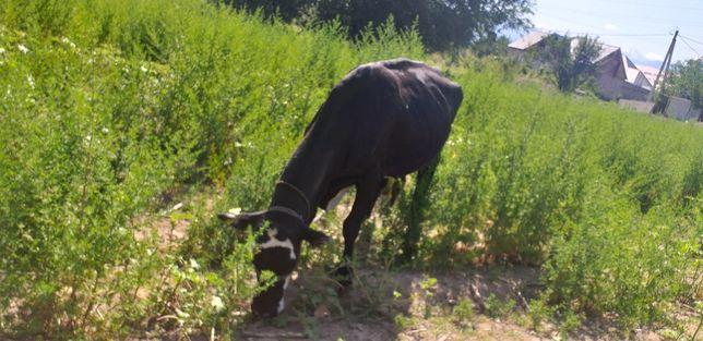 Чёрно-белая, хорошая корова