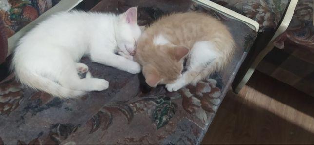 Котятки даром , белый и рыжий . Породистые. Доставка