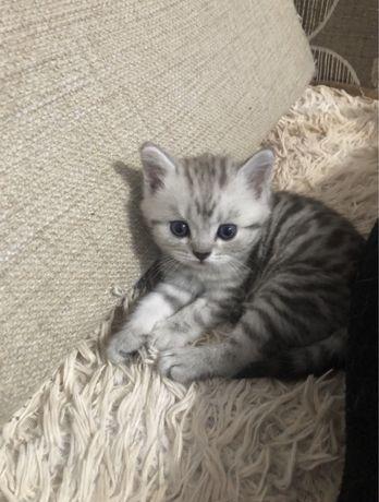 продам котят британских