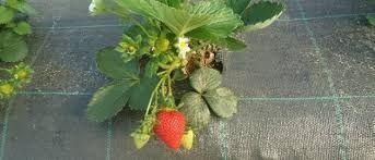 Folie Mulcire Culturi Legume/Fructe de Padure,Marcaje 15x15cm=Verzi,UV
