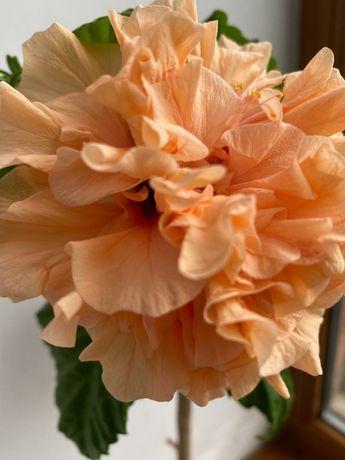Продам цветущий  Гибискус Бутон махровый. Цвет Карал . Цена 5000 т.