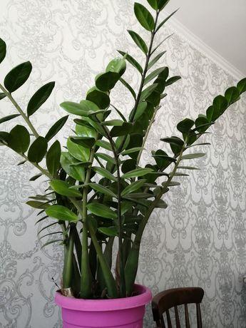 Продам цветок замеакулькас