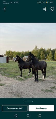 Продам лошадей, крупные