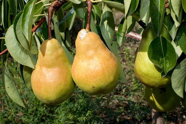 Саженцы плодовых деревьев. Груша Дюшес