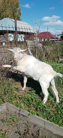Зааненский козел- производитель